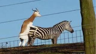 zebra cruzando com Cervus veado veja que animais hibridos deu esta cruza e acasalamento [Mr Memth]