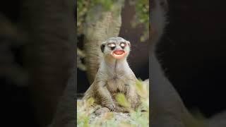 Maymun lar için ideal