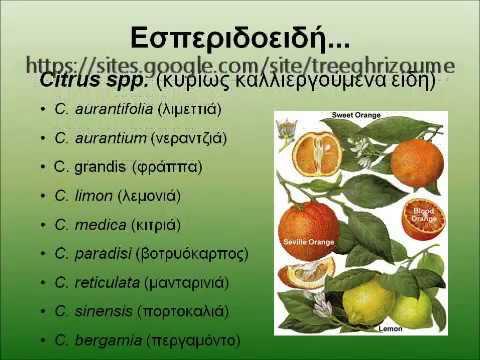 Τρόπος καρποφορίας εσπεριδοειδών (rutaceae, citrus trees, orange)