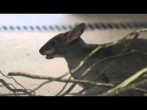 pademelon pet - photo #37