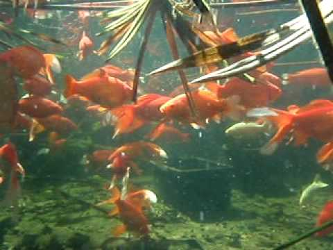 Goldfish pond youtube How to build a goldfish pond