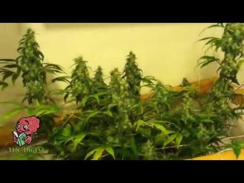 Hydro Bubbleponics Weed Grow   Week 10