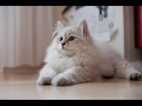 Сибирская кошка (Siberian cat)