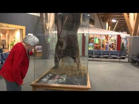 Missoula Montana Airport Grizzly Bear Elk Moose Mounts () Walk Around Business Trip