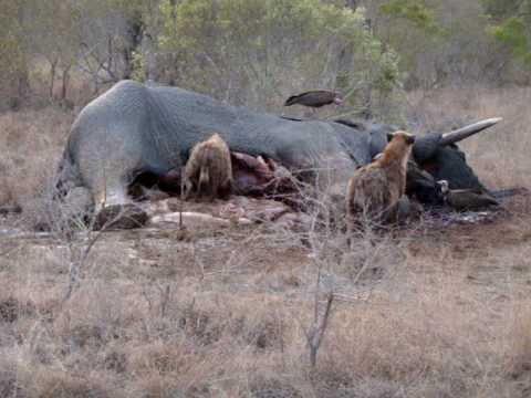Hyena eating dead Elep...