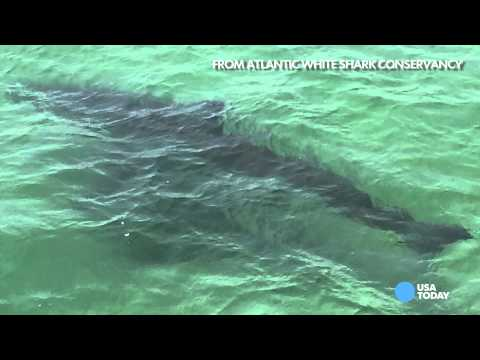 Great white sharks & jellyfish lurking in East Coast waters