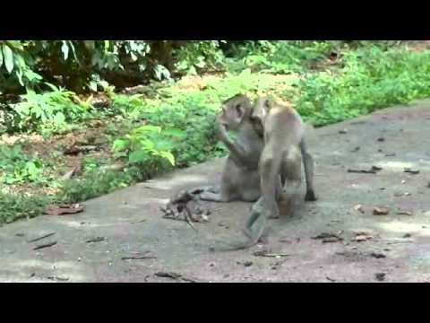 Distressed long-tailed macaque female in Don Chao Poo.wmv
