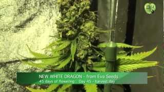 White dragon, the last indica by Eva Seeds