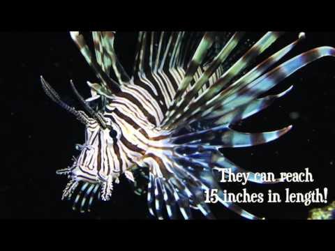 Species Spotlight Season 2 - The Volitan Lion King Episode 16