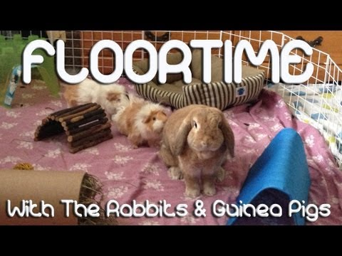 BudgetBunny: Floortime With The Rabbits & Guinea Pigs
