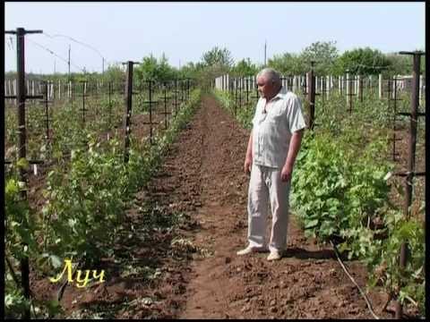 Секреты виноградарства (зелёная обрезка)