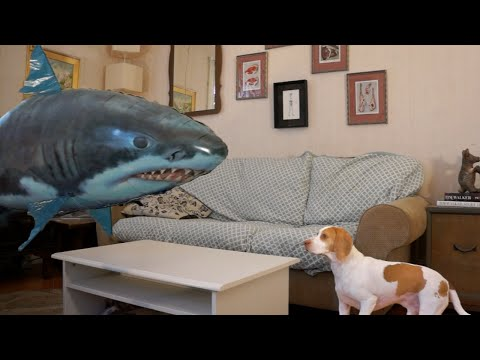 Dog vs. Shark: Cute Dog Maymo