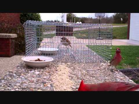 House Sparrow Trap b Biddle Sparrow Trap.wmv
