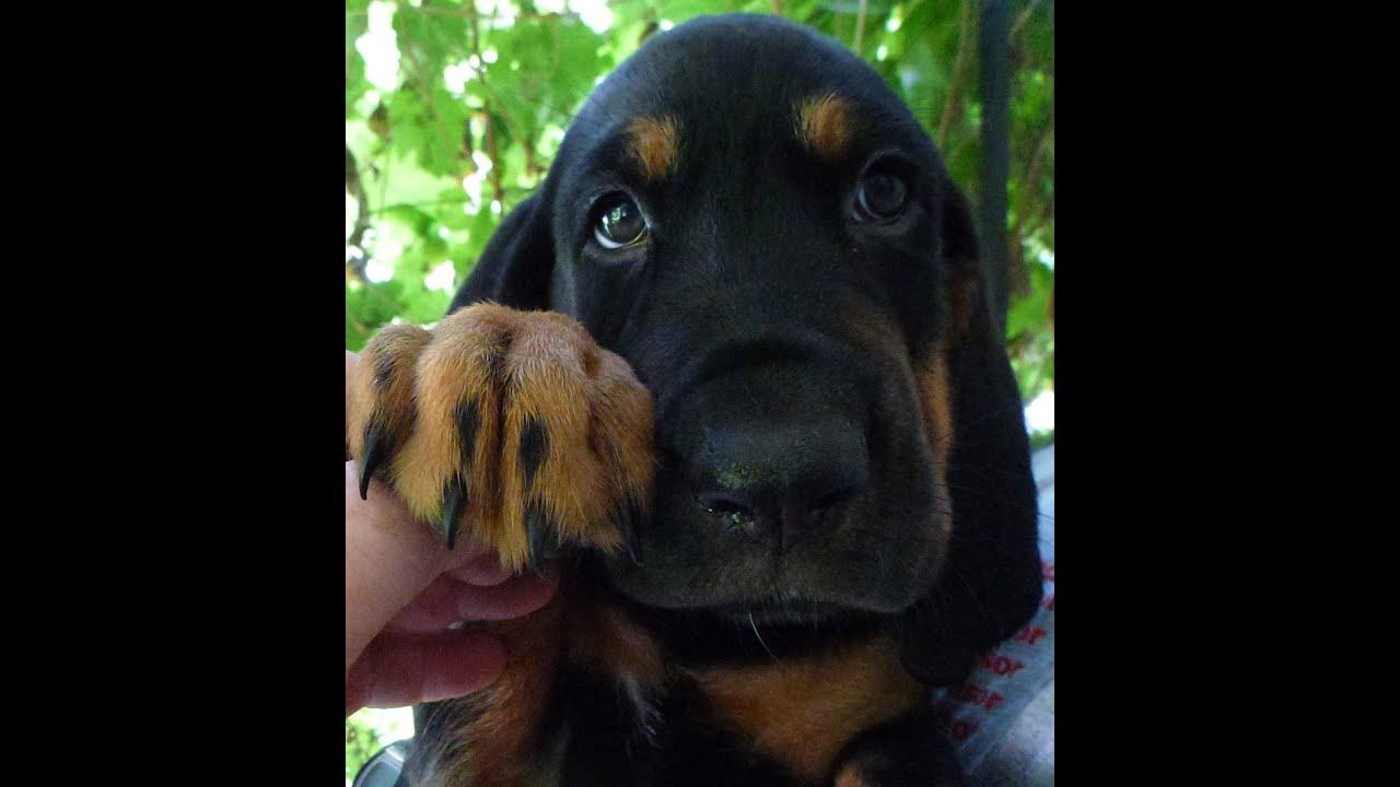 Bloodhound Rottweiler mix Puppies - YouTube