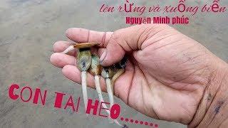Bắt con tai heo (cà xỉu, Ốc vòi voi ) ở đầm nước cạn.......
