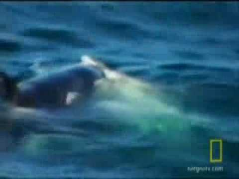 white shark vs orca(killer whale) abc news2.flv