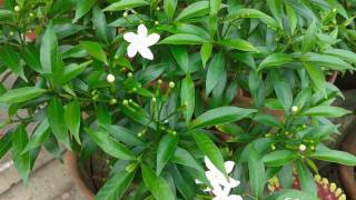 Tagar Flower  & Buds ......Tagar Plant.