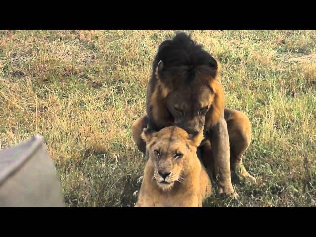 Lion Lovin'