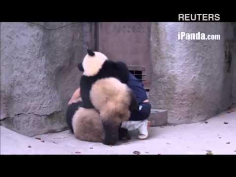 Неугомонные панды играют со своим смотрителем