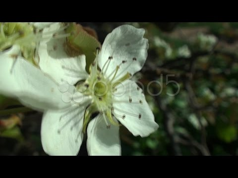 Extreme close up of Kikisui Asian Pear flower. Stock Footage
