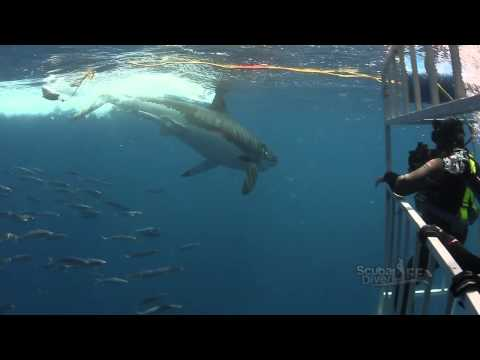 Great White Shark Diving | Guadalupe, Mexico