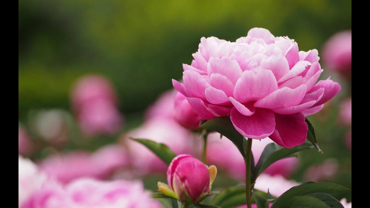 Цветы пионы картинки в хорошем качестве