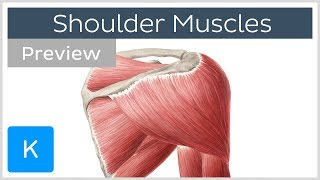 Muscles of the shoulder: origins, insertions and functions (preview) - Human Anatomy | Kenhub