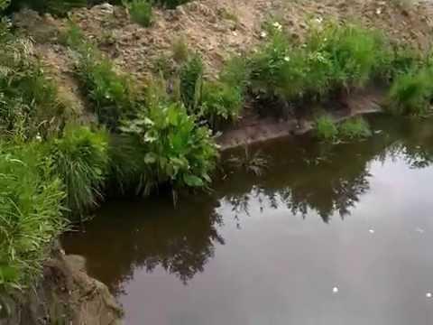 как выращивать леща в пруду видео