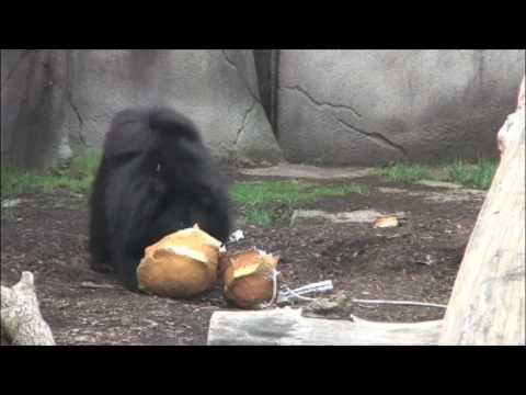 Sloth Bear Enrichment with Papier-mâché at Cleveland Metroparks Zoo