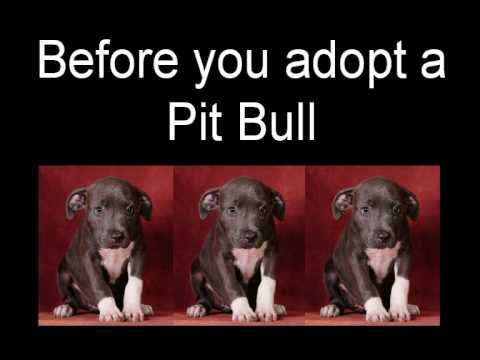 interested in pit bull adoption   youtube