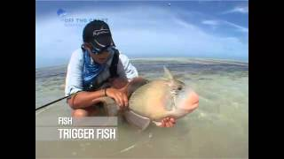 Trigger fish: fly fishing the flats: seychelles