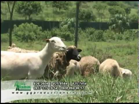 Ating Alamin RGL Farm Sheep