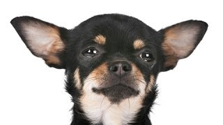 How to potty train a Chihuahua: Learn How to potty train a Chihuahua