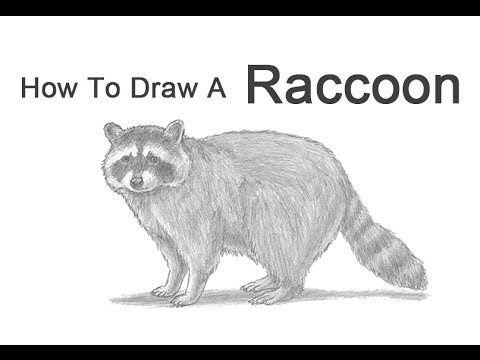 How to Draw a Raccoon - YouTube Raccoon Drawing