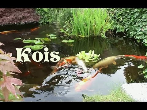 Japanischer Garten Koi-Teich am Bodensee