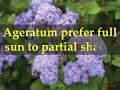 How to Grow Ageratum Plants at Home