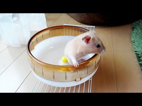 回し車から出られない件。おもしろ可愛いハムスターcute funny hamster