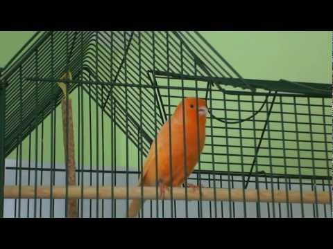 Kanarek śpiewa i tańczy (canary sings)