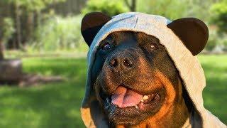 Funny Rottweiler Compilation