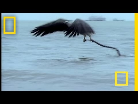 Eagle vs. Sea Snake Video