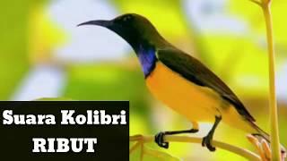 Suara Mp3 Burung Kolibri Ribut