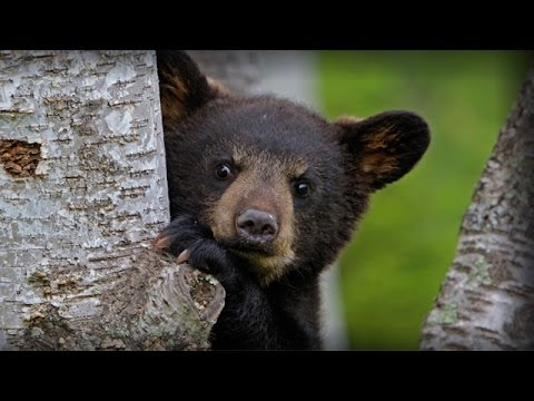 Help Bears in Maine!