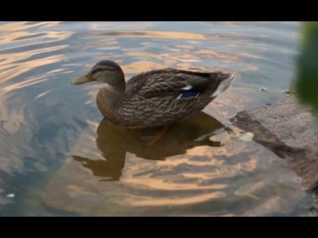 Природа, животный мир. Посмотреть ролик - Видео о природе : утка кряква ви