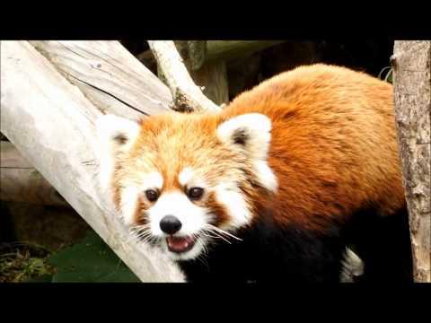 飼育員さんに反応するライラ 円山動物園 レッサーパンダ