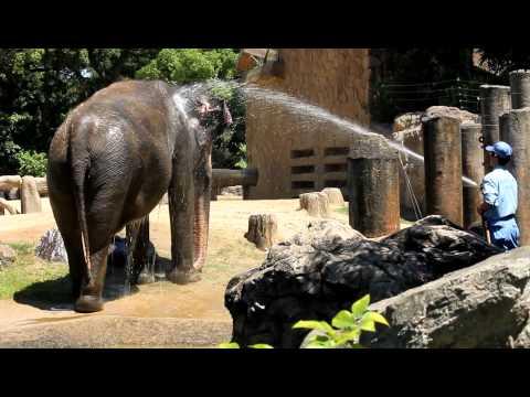 ぞうさん、お水をかけてもらう (7/9, 2011)
