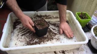 Trasplantando una utricularia terrestre recibida por correo.