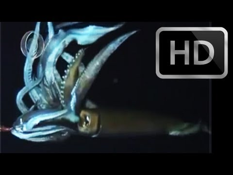 NEW EXPEDITION FOOTAGE of Live Giant Squid (2013) The Monster is Real in HD