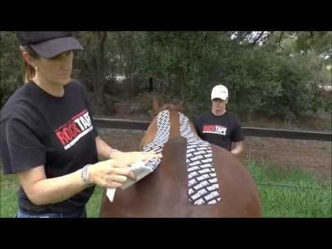 Equine - Spinalis Dorsi