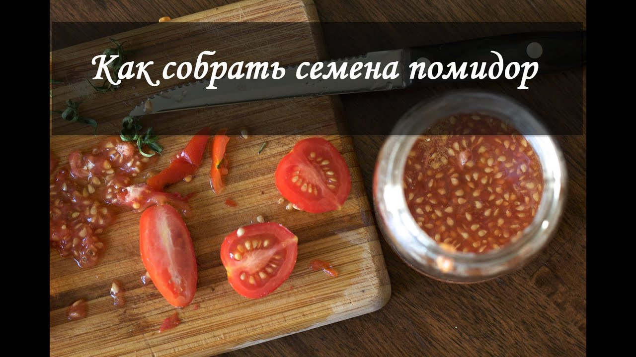 Как правильно собрать семена из помидор 64