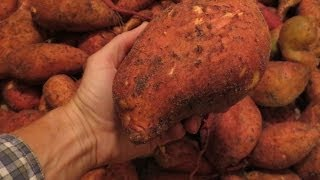 Amazing Sweet Potato Harvest: 139 lbs from 3 Potatoes